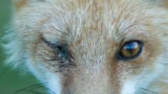 "IMGL7107 Red Fox Female, ""Foxy"""