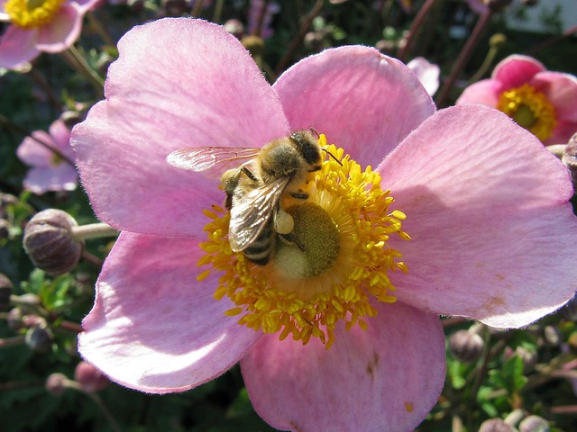 Bee on Anemone, Canon POWERSHOT A720 IS