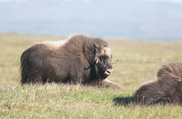 Muskox 8, Canon EOS 7D MARK II, Canon EF 400mm f/4 DO IS