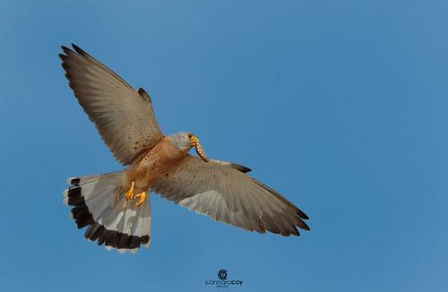 Lesser kestrel (Falco naumanni) - Cernícalo primilla (Falco naumanni)