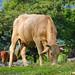 cow por ikarusmedia