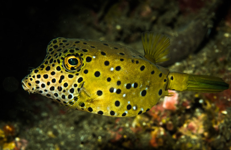 A yellow black spotted Box Fish