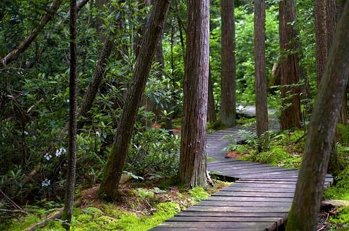 cedar atlantic white trail boardwalk woods forest moss green summer june nikon 60mm swamp outdoors hiking tree douglas massachusetts newengland path