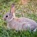 Dessert Cottontail Bunny