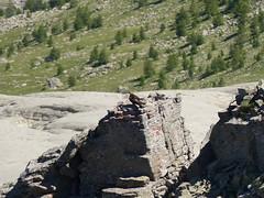 Aigle royal - Photo of Villeneuve-d'Entraunes