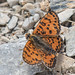 Small photo of Lesser Spotted Fritillary