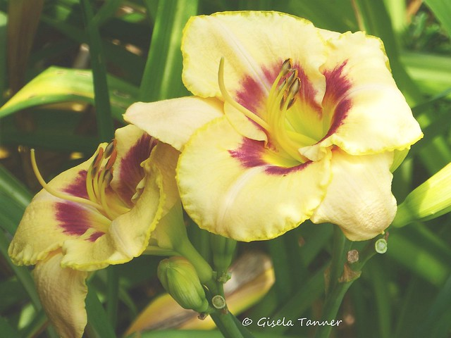 Mein Sommergarten - Taglilien