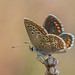 Small photo of Brown Argus