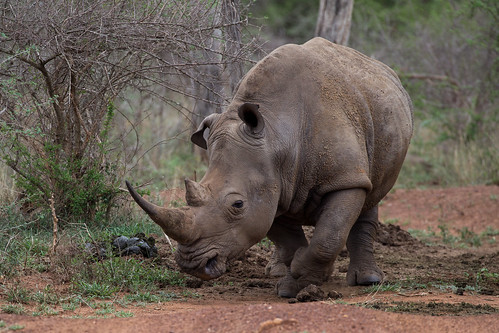 2016 africa hlane hlaneroyalnationalpark swaziland wildlife lubomboregion sz white rhino whiterhino ceratotherium simum ceratotheriumsimum