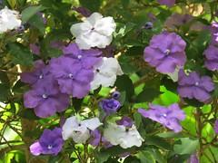 Brunfelsia pauciflora var. calycina (Benth.) J. A. Schmidt