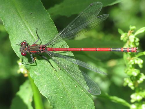 Pyrrhosoma nymphula (Large Red Damselfly)