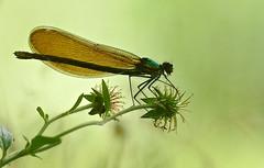 Beautiful Demoiselle (Calopteryx virgo) female