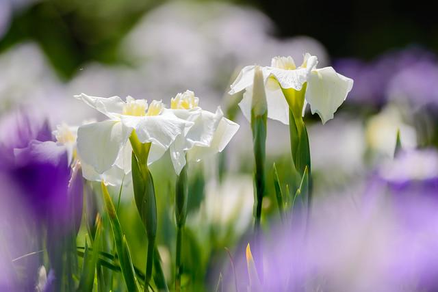 花菖蒲  - Iris  #3
