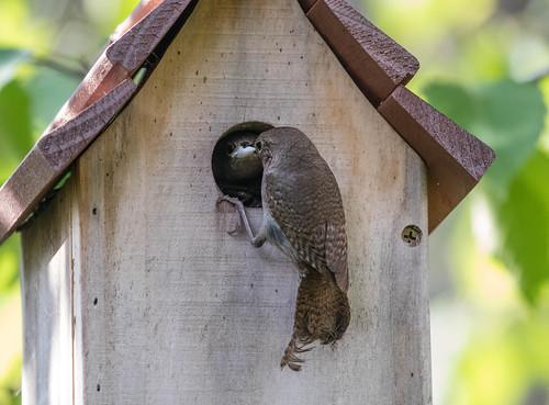Nesting House Wren