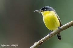Todirostrum cinereum / Espatulilla común / Common tody flycatcher