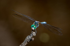 beautiful blue dasher dragonfly on brown