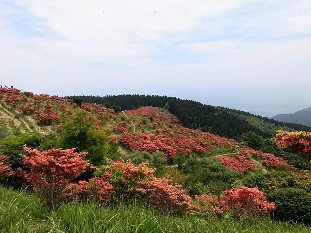 大和葛城山 自然ツツジ園