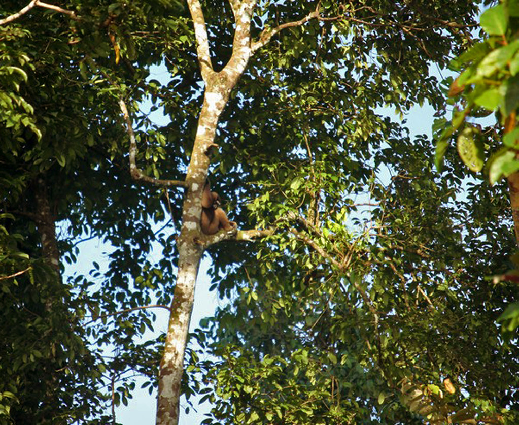 gibbonabe på Borneo