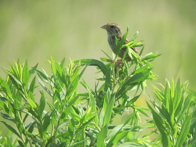 Henslow's Sparrow by Russ, Canon POWERSHOT SD4000 IS
