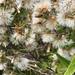 dandelions por ikarusmedia