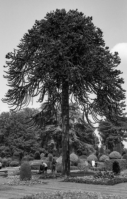 FILM - Monkey Puzzle tree