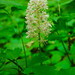 Small photo of White Baneberry (Actaea pachypoda)