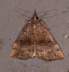 Gray-edged Bomolocha Moth