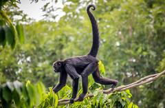 Black-headed Spider Monkey: Heading Home