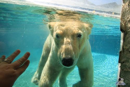 Eisbär Fiete im Zoo Sosto 29.05.2017 003