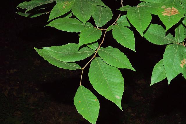 Fagus grandifolia Ehrh, Sony ILCA-68, Sony DT 30mm F2.8 Macro SAM (SAL30M28)