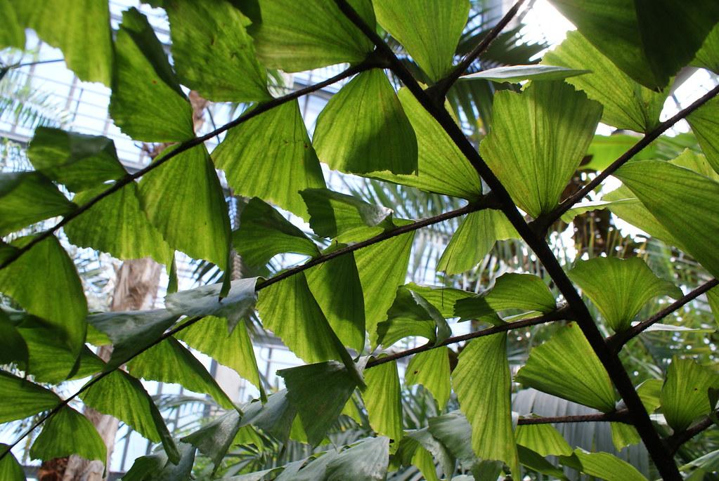 Feuille proche du Gingko mais plus grande : Caryota mitis (originaire d'Asie). Jardin botanique de Riga