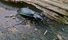 Ground Beetle (Carabus violaceus purpurascens)