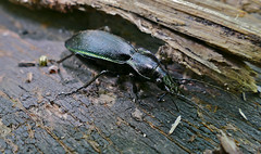 Ground Beetle (Carabus violaceus purpurascens) - Photo of Saissac