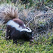 Patagonian Hog-nosed Skunk (Tim Melling)