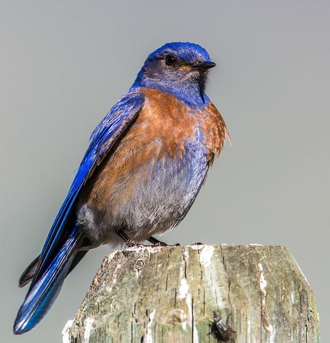 westernbluebird bluebird sialiamexicana sialia turdidae thrush nigelje whitelake okanaganfalls okanagan
