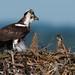 Osprey of Sandy Hook | 2017 - 23