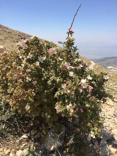 Wild Rose (Rosa canina) on the peak of Mt. Hermon