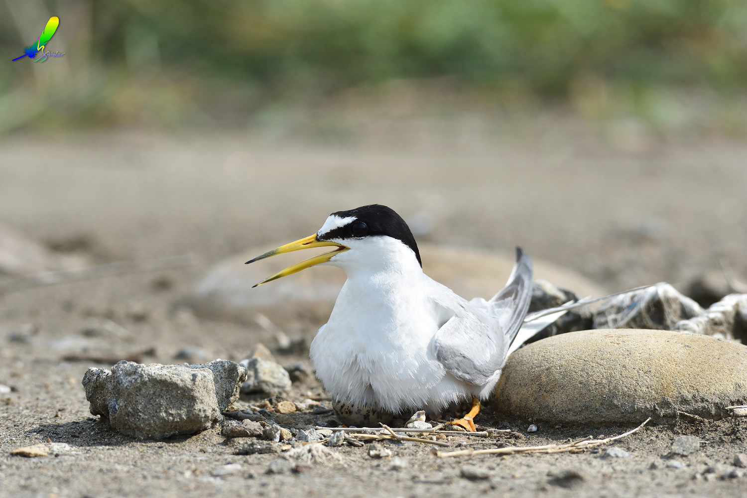 Little_Tern_6780