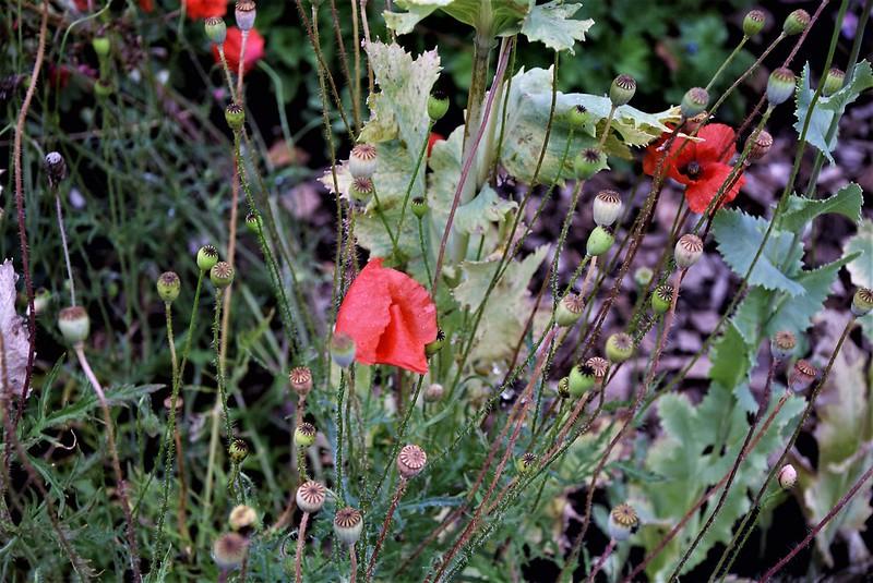 Poppies 02.07 (1)