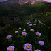 MT St Helens And Purple Asters Under Twilight