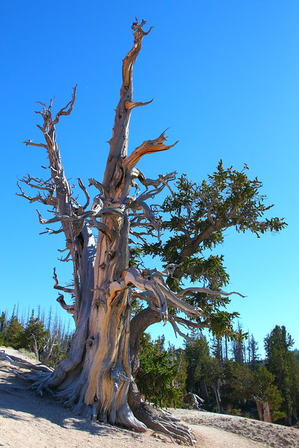 IMG_9469 Great Basin Bristlecone Pine at Spectra Point
