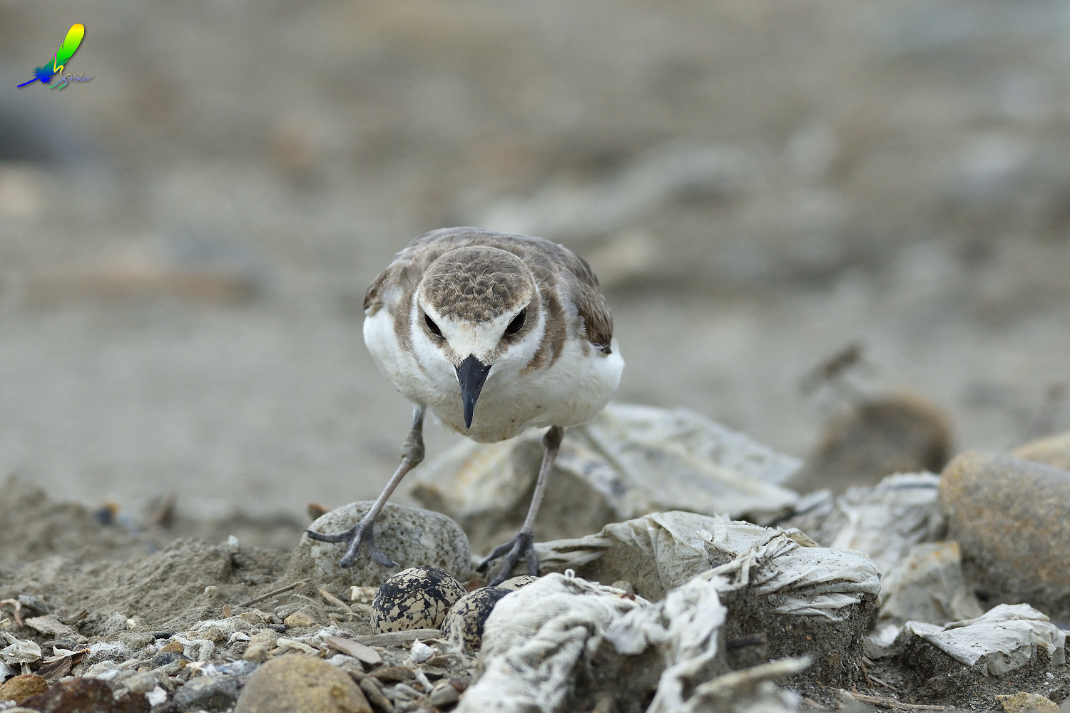 Kentish_Plover_8654