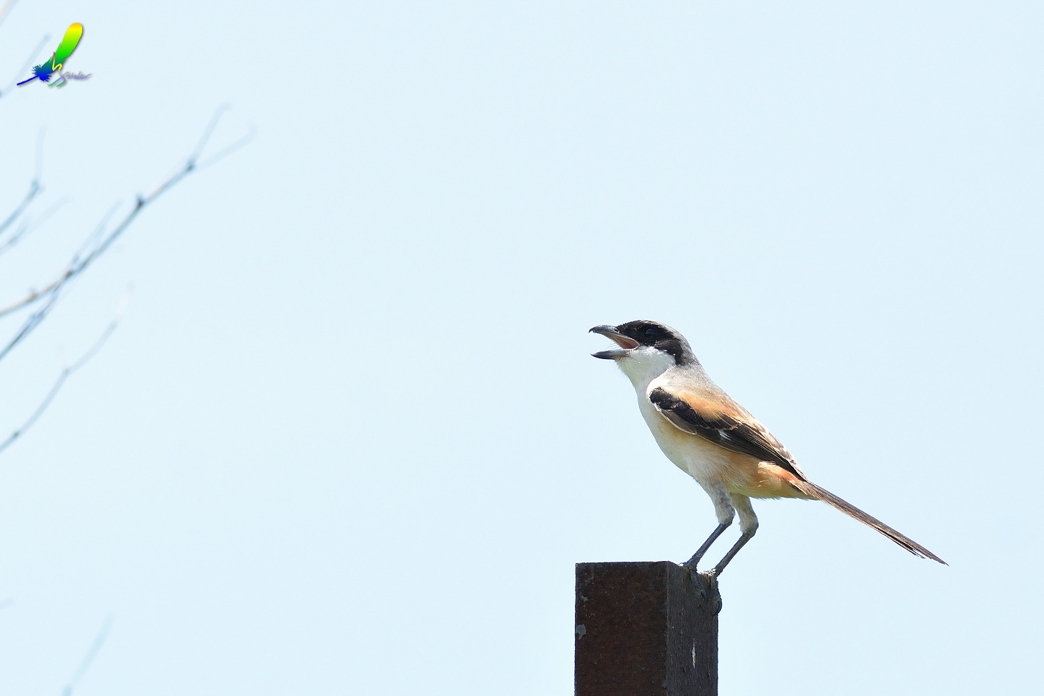 Long-tailed_Shrike_8535