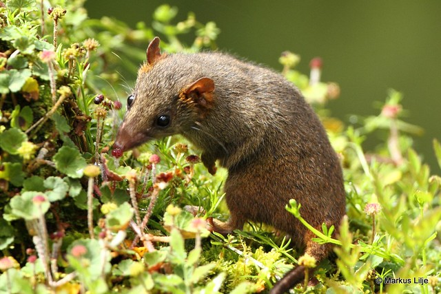 Black-tailed Antechinus