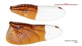 Rhyothemis resplendens male wings