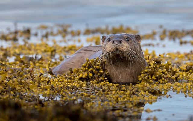 Otter - Pennyghael, Mull 2017, Canon EOS 7D MARK II, Canon EF 500mm f/4L IS