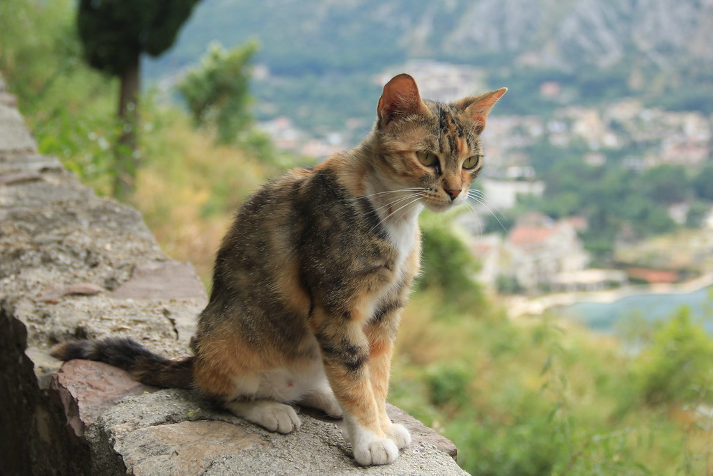 Cat, Kotor's Fortress