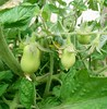 Very excited about our Roma tomatoes! :tomato::tomato::tomato: