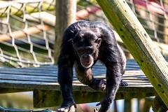 Chimpanzee Hananyas Group #3
