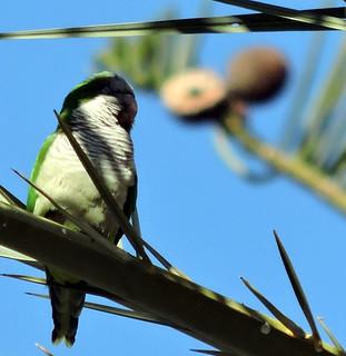 Monk Parakeet, Myiopsitta monachus
